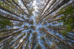 Tall Trees - stock photo