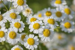 Stock Photo of Feverfew