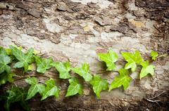 Stock Photo of tree vine