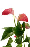 beautiful anthedesia anthurium - stock photo