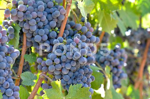 Stock photo of red wine grapes