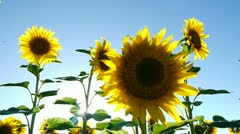 sunflowers with gleaming sun behind - stock footage