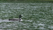 Loon swimming in a lake Stock Footage
