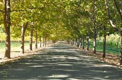 Stock Photo of alley of trees on a summer day