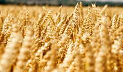 Stock Photo of wheat field