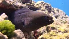 Tropical Underwater Moray eel, Clip 1 Stock Footage
