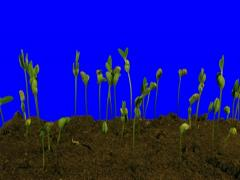 Time-lapse of growing soybeans 5a4 (DCI 3K) Stock Footage