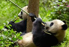 Giant panda eating bamboo Stock Photos