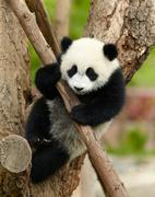 Stock Photo of giant panda baby over the tree