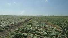Dolly shot watering onion field Stock Footage