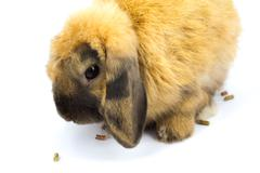 Bunny holland lop Stock Photos