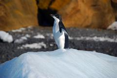 adelie penguin - stock photo