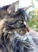 Maine Coon cat in profile Stock Photos