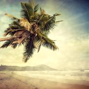 coconut palm - stock photo