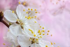 sakura flowers - stock photo