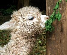 baby lama - stock photo