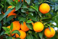 Green leaves and mature oranges on the tree. Stock Photos