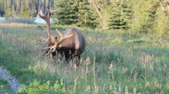 Bull Elk Grazing in Alberta, Canada Rocky Mountains Stock Footage