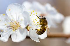 Bee in blossoming cherry tree Stock Photos