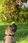 Shar pei dog Stock Photos