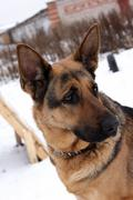 Portrait of a german shepherd dog Stock Photos