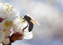 Stock Photo of bee in blossoming cherry tree