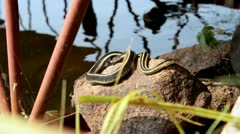 Snake on rock - stock footage