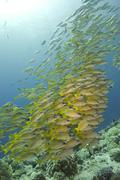 Large school of yellow fish - stock photo
