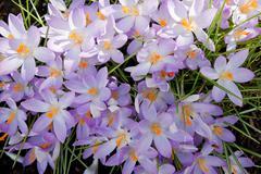 Crucus flowers Stock Photos