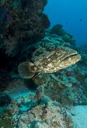 Large Grouper emerges from hole - stock photo
