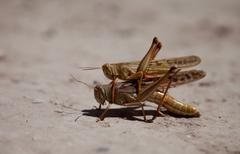 grasshoppers - stock photo