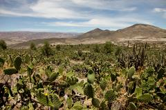 Cactus in the andes Stock Photos