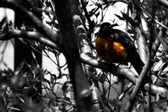 Robin Out The Window - stock photo