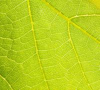 grapevine leaf macro - stock photo
