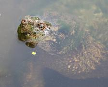 Stock Photo of common snapping turtle