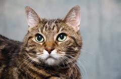 Stock Photo of adult tabby cat