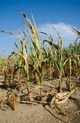Stock Photo of drought damaged corn