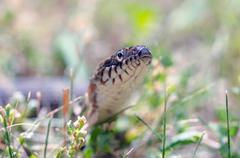 Stock Photo of northern water snake