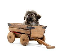 Stock Photo of shih tzu puppy in wagon