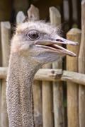 African ostrich Stock Photos