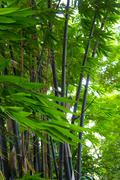 bamboo leaves in the forest - stock photo