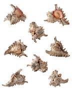 conch - stock photo