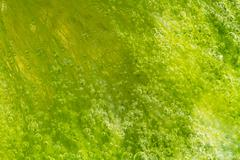bubbles in seaweed - stock photo