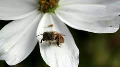 Bee on white blossom Stock Footage