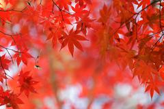 Red maple tree background Stock Photos