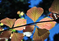 colorful autumn dogwood leaves - stock photo