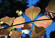 Stock Photo of colorful autumn dogwood leaves