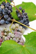 wild grapes and leaves - stock photo