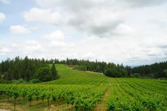 Spring vineyard in california Stock Photos