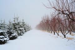christmas tress and apple trees - stock photo